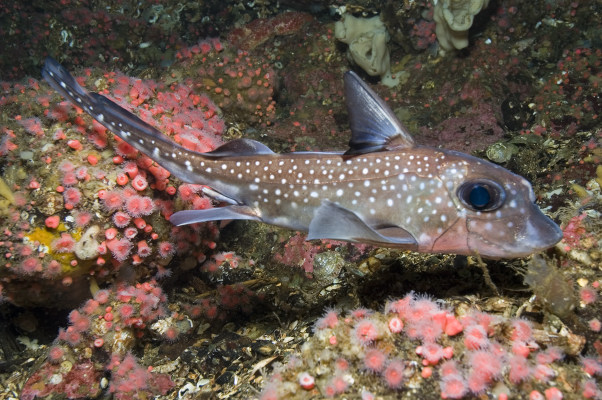 Spotted Ratfish on coral reef